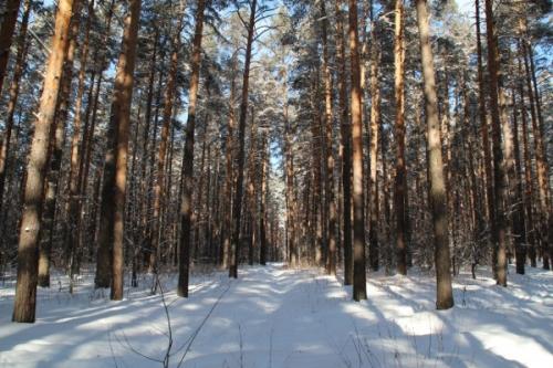 сосновый лес  2фь