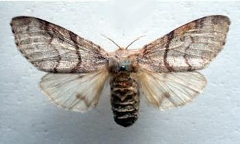 бабочка краснохвоста