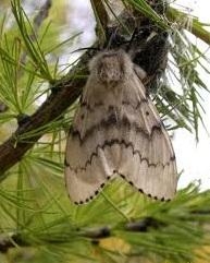 бабочка н ш