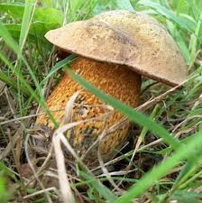 гриб дубовик