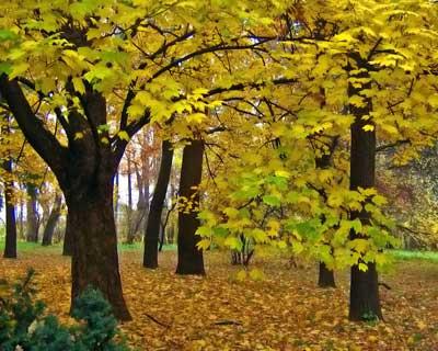 клен дерево неторопливое